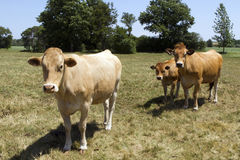 Brown Cows Royalty Free Stock Photography