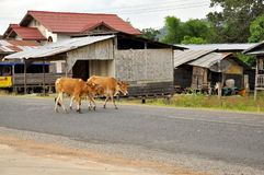 Brown cows. Walk on the road. Taken this pic in Laos Stock Photos