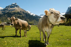 Brown cows in the alpine meadow Royalty Free Stock Images