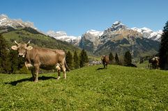 Brown cows in the alpine meadow Royalty Free Stock Photos