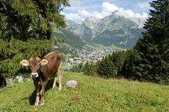 Brown cows in the alpine meadow Stock Photos