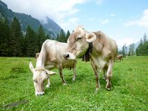 Brown cows in the alpine meadow at Engelberg Stock Images