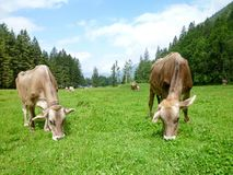 Brown cows in the alpine meadow at Engelberg Royalty Free Stock Image