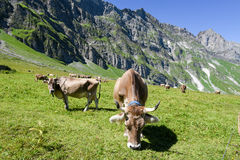 Brown cows in the alpine meadow at Engelberg Stock Photo