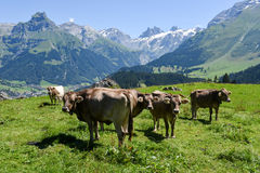 Brown cows in the alpine meadow at Engelberg Stock Photography