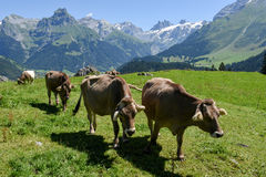 Brown cows in the alpine meadow at Engelberg Royalty Free Stock Photography