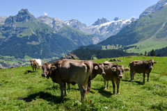 Brown cows in the alpine meadow at Engelberg Royalty Free Stock Photos