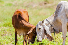 Brown Cows and calf. Brown Cows can show affection by  by varsity the calf's forehead Stock Image