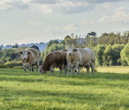 Brown cows in the countryside Stock Image