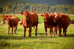 Brown cows Stock Photography