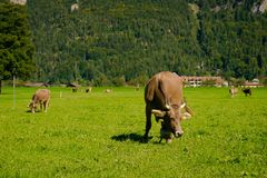 Cows in a meadow. Brown cows on a farm. Many cows graze on a green meadow in the Alpine village Royalty Free Stock Images