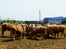 Brown cows feeding in rural farm setting. Background with farm building and communication tower. animals and farming concept. agriculture theme stock photos