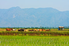 Brown cows on the field Royalty Free Stock Images