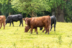 Brown cows in a field Royalty Free Stock Photos