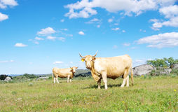Brown cows in a field Royalty Free Stock Photo