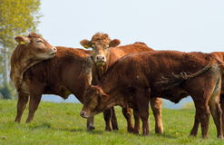 Brown Cows in a Field Stock Image