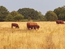 Brown Cows in golden fields  at evening time Stock Image