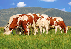 Brown cows on grass field royalty free stock image