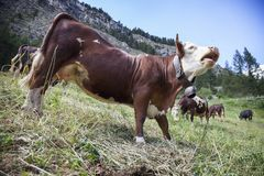 Brown cows graze in italian mountain meadow of national park gran paradiso royalty free stock image
