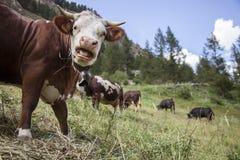 Brown cows graze in italian mountain meadow of national park gran paradiso royalty free stock photos
