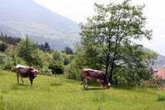 Brown cows graze on a meadow Royalty Free Stock Photography