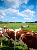 Brown cows grazing in a field Royalty Free Stock Image