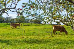 Brown cows grazing on a green field. Asturias. Spain Stock Photography