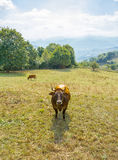 Brown cows grazing on a  meadow Royalty Free Stock Photography