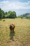 Brown cows grazing on a meadow stock image