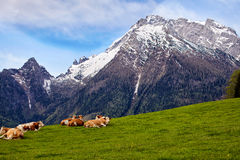 Brown cows grazing on a meadow Royalty Free Stock Photos