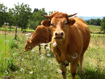 Brown cows in green farm field Royalty Free Stock Photo