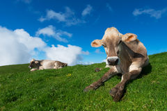 Brown cows on green grass pasture Stock Photos
