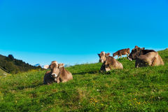 Brown cows on green grass pasture Stock Image