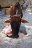 Brown Cows Licks a Himalayan Salt Crystal Royalty Free Stock Photo