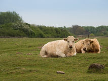 Brown cows lying on a green meadow Royalty Free Stock Photos