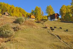 Brown cows and mountain cabins Royalty Free Stock Image