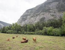Brown cows in mountain meadow near vars in alps of haute provence. Brown cows in mountain meadow near col de vars in french alps of haute provence stock photo
