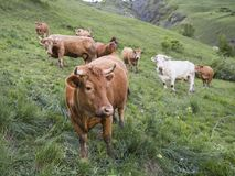 Brown cows in mountain meadow near vars in alps of haute provence stock photo