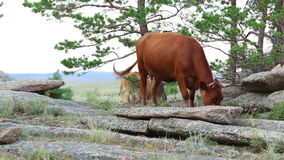 Brown cows stock footage