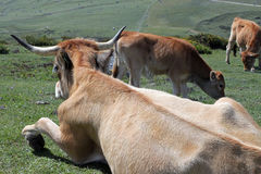 Brown cows in a mountain pasture Stock Photo