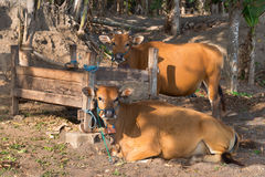Brown cows near wooden trough Royalty Free Stock Images