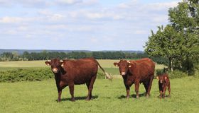 Brown cows in Normandy Royalty Free Stock Photo