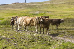 Brown cows pasture in Italian Alps with cableway in background Stock Photography