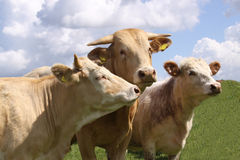 Brown cows posing for the camera Royalty Free Stock Image