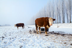 Brown cows on snow in winter Stock Photography