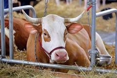 Brown cows in the stable on farm Royalty Free Stock Photos