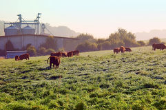 Brown cows stand on the willow. Herd of cattle in a green meadow in morning light with fog and breeding facility in the background Stock Photo