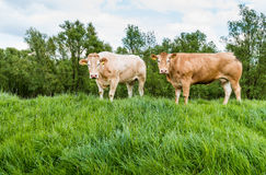 Brown cows standing on a dike Stock Image