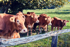 Brown cows at summer field Stock Photo