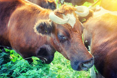 Brown cows at summer green field Royalty Free Stock Photography